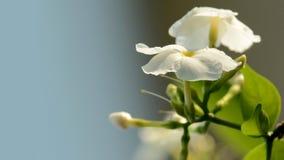 Plan rapproch? de fleurs de jasmin dans le jardin photo libre de droits