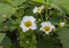 Plan rapproché de floraison de fraise photographie stock libre de droits