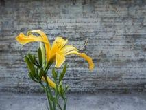 Plan rapproché de floraison de lis sur le fond foncé Lis colorés collectables variétaux Photographie stock