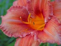 Plan rapproché de floraison de lis sur le fond foncé Lis colorés collectables variétaux Photos stock