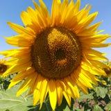 Plan rapproché de floraison de tournesol images libres de droits