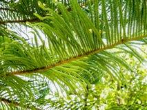 Plan rapproché de fond de branches d'arbre de sapin de pin de Noël Photos stock