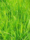 Plan rapproché de fond d'herbe verte Images stock