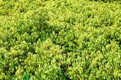 Plan rapproché de forêt de palétuvier de baie de Thung Kha, Chumphon, Thaïlande image stock