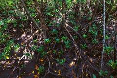 Plan rapproché de forêt de palétuvier de baie de Thung Kha, Chumphon, Thaïlande images libres de droits