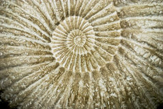 Plan rapproché de fossile d'ammonite Images stock