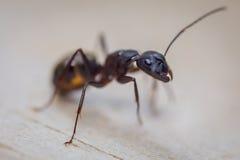 Plan rapproché de fourmi Images stock