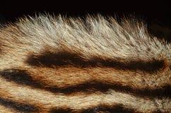 Plan rapproché de fourrure de tigre Photographie stock