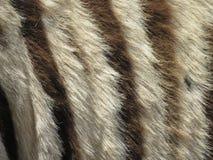 Plan rapproché de fourrure de zèbre Images libres de droits