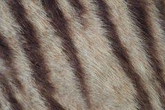 Plan rapproché de fourrure de tigre Image libre de droits