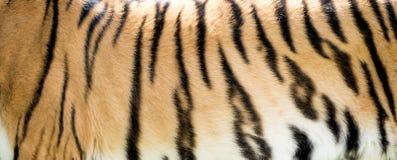 Plan rapproché de fourrure de tigre - fond photos stock