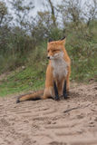 Plan rapproché de Fox Image stock
