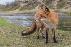 Plan rapproché de Fox Image libre de droits
