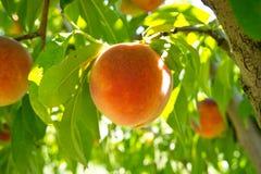 Plan rapproché de fruit de pêche sur une branche d'arbre Photographie stock libre de droits