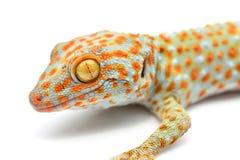 Plan rapproché de gecko de Chambre photo libre de droits