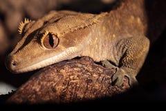 Plan rapproché de gecko crêté de Calédonien photographie stock