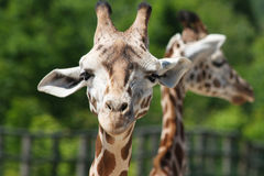 Plan rapproché de girafe Photo libre de droits