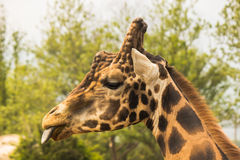 Plan rapproché de girafe image libre de droits