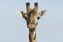 Plan rapproché de girafe (camelopardalis de Giraffa) de tête Photos libres de droits