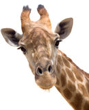 Plan rapproché de giraffe Image stock