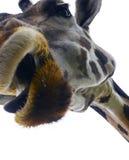 Plan rapproché de giraffe Images stock