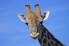 Plan rapproché de giraffe, Namibie Image libre de droits