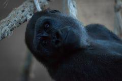 Plan rapproché de gorille se situant de retour dans l'hamac photos stock