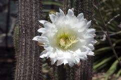Plan rapproché de grande fleur blanche d'un cactus de tuyau d'organe images stock