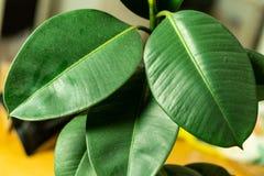 Plan rapproché de grandes feuilles vertes sur la fleur de bureau images stock