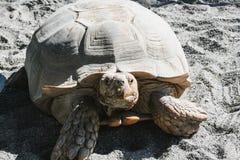 Plan rapproché de grandes vieilles tortues dans le buttwil photos stock