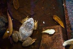 Plan rapproché de grenouille dans la ferme de nature, Thaïlande Photographie stock libre de droits