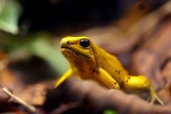 Plan rapproché de grenouille jaune toxique   photographie stock libre de droits