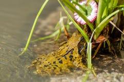 Plan rapproché de grenouille sous la fleur par le côté de l'étang Photographie stock
