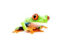 Plan rapproché de grenouille sur le blanc Images stock