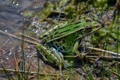 Plan rapproché de grenouille verte Images libres de droits
