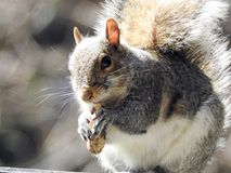 Plan rapproché de Grey Squirrel Eating Peanut Images stock