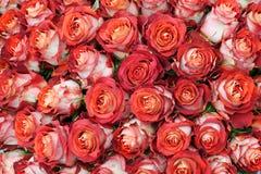 Plan rapproché de groupe fraîchement de grandes roses de coupe. Photographie stock libre de droits