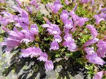 Plan rapproché de groupe pourpre de fleur de lavande dans le Canada de parc national de Banff Images libres de droits