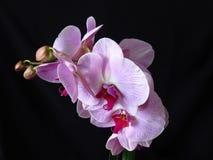 Plan rapproché de groupe rose pourpre rose de fleur de fleur d'orchidée sur le fond noir Phalaenopsis connu sous le nom de mite photo libre de droits