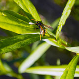 Plan rapproché de guêpe sur l'herbe verte Photo libre de droits