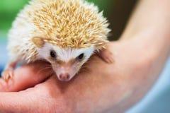Plan rapproché de hérisson pygméen africain décoratif sur la main humaine Protection de l'environnement de concept, écologie, zoo Photographie stock