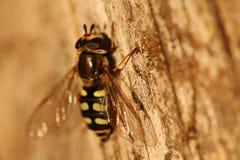 Plan rapproché de hoverfly Photos stock