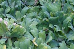 Plan rapproché de jacinthe d'eau Photo libre de droits