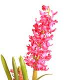 Plan rapproché de jacinthe rouge images stock