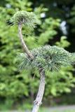 Plan rapproché de jeune arbre audacieux vert de bonsaïs sur un fond mou photo stock