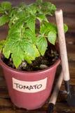 Plan rapproché de jeune plante de tomate et d'outils de jardin Images stock