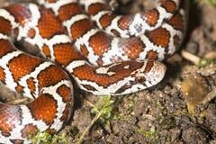 Plan rapproché de jeune serpent de lait sur le sol de jardin dans le Connecticut photo stock
