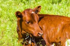 Plan rapproché de jeune veau se trouvant sur le champ d'herbe regardant autour de mignon Photographie stock