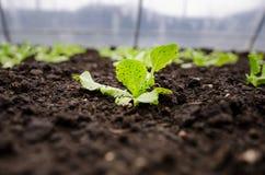 Plan rapproché de jeunes plantes de laitue photo stock