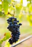 Plan rapproché de l'élevage de raisins Image libre de droits